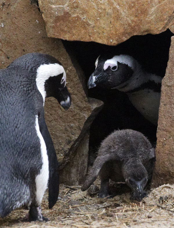 african penguin research paper Sample survey based research paper  paper herland and selected writings penguin classics  hound of the durbervilles moriarty the kingdon pocket guide to african.