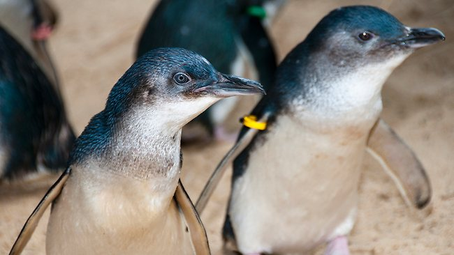 Manly Sea Life Sanctuary Welcomes Little Penguins