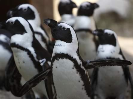 Blackfoot Penguin Penguin Place Post