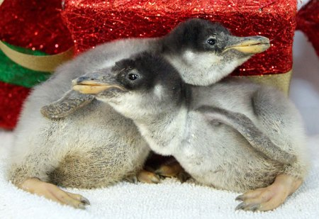 The Baby Penguins of Texas