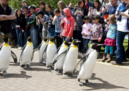 The world famous Edinburgh Penguin Parade