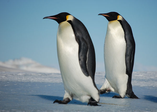 For Safetys Sake Walk Like A Penguin