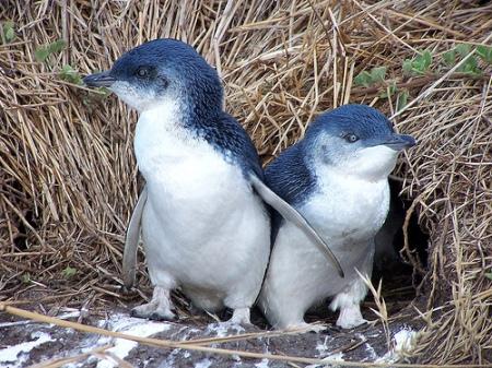 Little Blue Penguins of South Australia