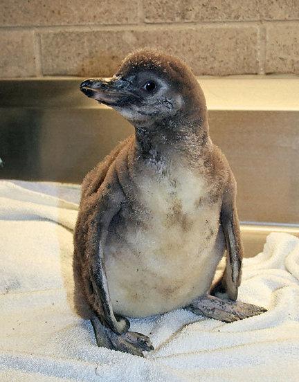 penguin-baby-5-11-10-9725jpg-79eb4045ed5d13c6_large
