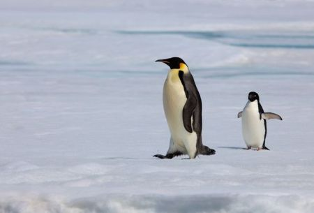 Emperor Penguins waddle when they walk but you should see them swim.