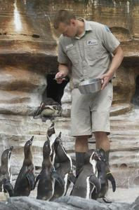 Sedgwick County Zoo penguin keeper Steve Larson feeds the Humboldt penguins on display at the zoo. Read more here: http://www.kansas.com/2014/04/30/3431230/sedgwick-county-zoo-to-celebrate.html#storylink=cpy