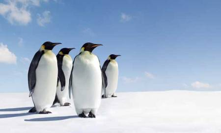 Emperor_Penguins_with_Blue_Sky_600