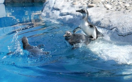Mystic Aquarium's newest additions took to the water on Tuesday.