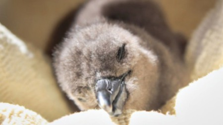 rescued-african-penguin-chick