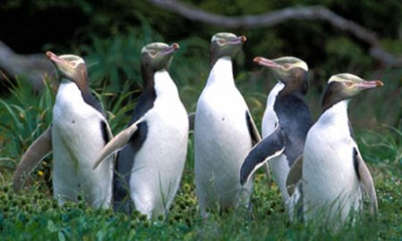 Yellow-Eyed-Penguins.-Ima-001