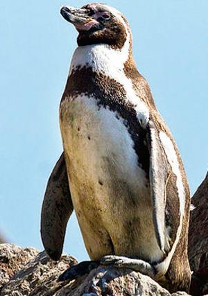 The Humboldt penguin gets its name from German explorer Alexander von Humboldt.