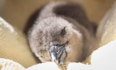 A rescued penguin  chick is cared for at the Southern African Foundation for the Conservation of Coastal Birds