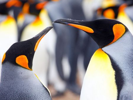 king-penguins-falkland-islands_12660_990x742