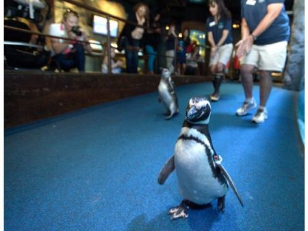Magellanic penguins walks across the Northern Pacific Gallery at the Aquarium of the Pacific in Long Beach on Friday. During the month of June the Aquarium will hold a daily Penguin Walk at 10:00 a.m. in the Northern Pacific Gallery. The penguins will begin their walk by the sea otter exhibit and end it by the giant Pacific octopus.