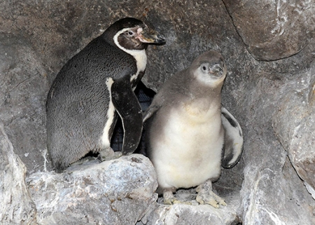 Humboldt Penguin chick (right) shows off his gray juvenile plumage as he steps out of his nest.