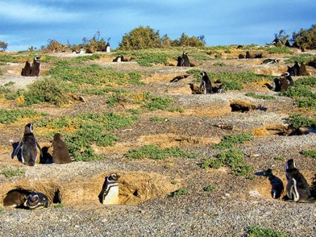 Magellanic Penguins in their burrows