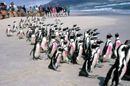 Release of cleaned and rehabilitated African penguins following the Treasure oil spill in Cape Town, South Africa. (The pink spots are a temporary dye to indicate the birds are ready for release, and to help researchers spot them on their islands.) Photo by Tony Van Dalsen, DAFF