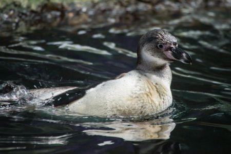 A Humboldt penguin chick explores the Oregon Zoo Penguinarium