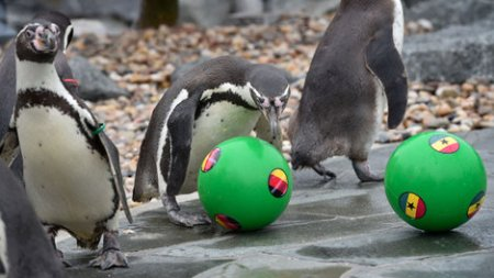 A penguin approaches a ball displaying the national flag of Germany (C) near another featuring Ghana' flag (R) at the Spreewelten-Bad, a sauna and swimming-pool facilities with penguins, in Lubbenau, eastern Germany, during an oracle event organized on June 19, 2014 on the eve of the FIFA World cup Brazil football match Germany vs Ghana.