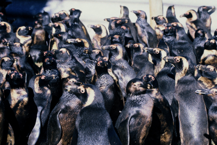 African penguins oiled in the June 23, 2000 Treasure oil spill in Cape Town, South Africa. Photo by Tony Van Dalsen