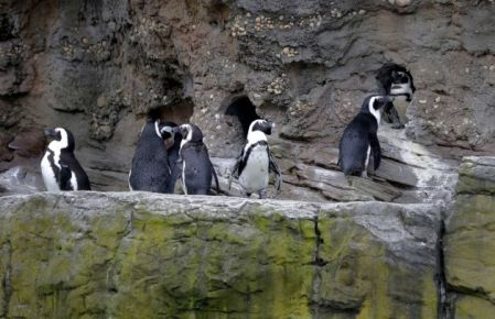 African Penguins at Coney Island Aquarium