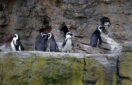 African Penguins at Coney Island Aquarium