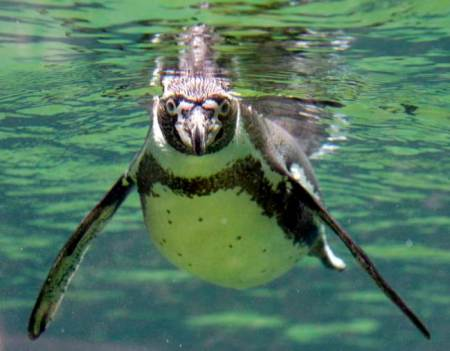 Don't let this cute Humboldt penguin fool you, Penguin 337 will not follow the rules