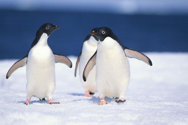 adelie penguins   Penguin Place Post