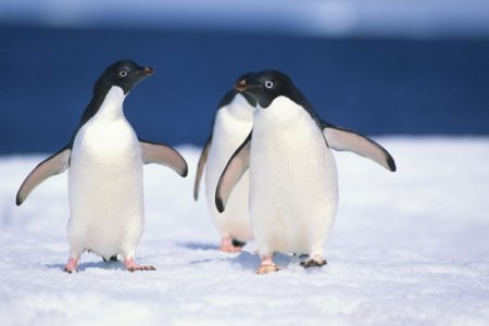 Adelie penguins and their water-going cousins can't taste their prey's fishy flavour, scientists have found.