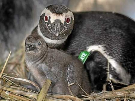 New still un-named penguin chick born at the Aquarium of the Pacific, Long Beach with proud mama Kate.