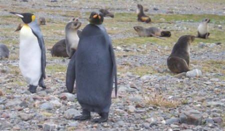 black-penguin-resize-480x281
