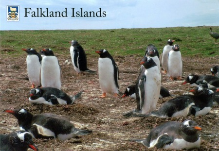 FALKLAND+ISLANDS+-+Gentoo+Penguins
