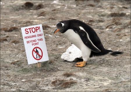 Gentoo_penguin_6257