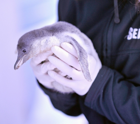 Baby Penguin Born At The Sea Life London Aquarium