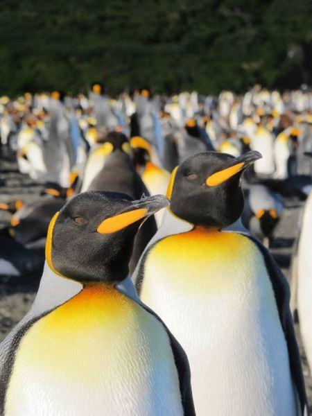 king-penguins-1-bize