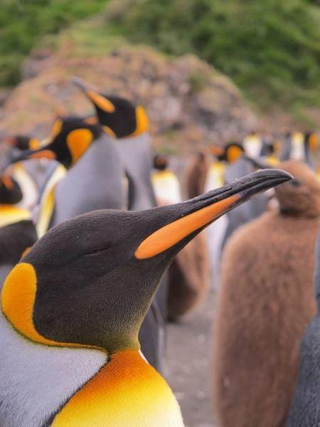 king-penguins-3-bize