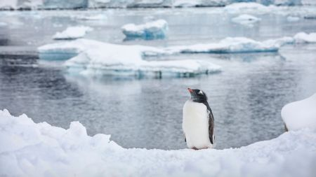 A gentoo on the ice