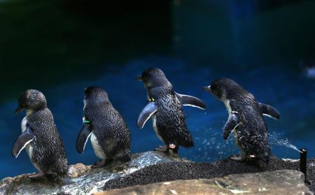 Little Blue Penguins at New England Aquarium