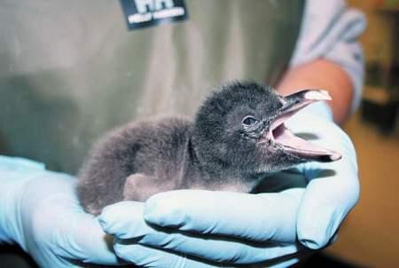 web1_Baby-Penguin-at-TN-Aquariun