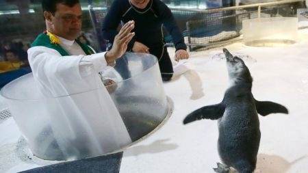 "A four-month-old Humboldt penguin named ""Kaya"" is blessed by a Catholic priest prior to its first swim Wednesday, Oct. 29, 2014 at the country's largest oceanarium, the Manila Ocean Park in Manila, Philippines. Kaya, born July 8, 2014, becomes the first penguin to be born in the country."
