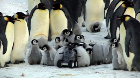 The camouflaged rover successfully infiltrates an emperor penguin crèche Photograph: Yvon Le Maho et al. Nature Methods