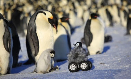 A remote-controlled vehicle disguised as an emperor penguin chick makes a stealthy approach Photograph: Yvon Le Maho et al. Nature Methods