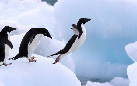 104111-penguins-lovers-flying-penguin