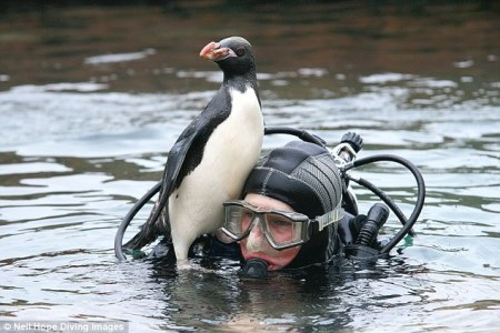 239A053C00000578-2854540-Hitching_a_ride_Young_penguin_Yoyo_with_diver_Derek_Youd_at_the_-1_1417344965836