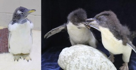 Gentoo on the left, Rockhoppers on the right.