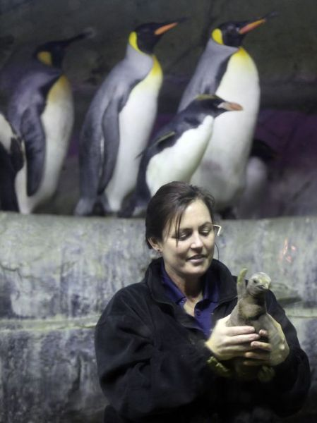 Newport Aquarium senior biologist Jen Hazeres holds Kevin Bacon, a king penguin chick born Feb. 7 and unveiled at the aquarium Tuesday. He was due to hatch on Friday the 13th, so he was named for the actor who starred in the movie.