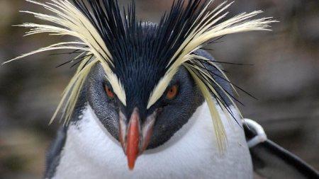 830017-rockhopper-penguin
