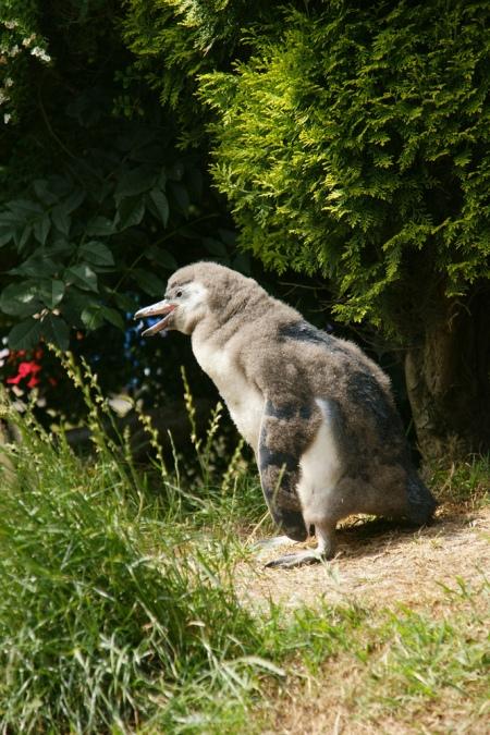 Humboldt_penguin_chick