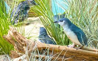 Julie-Larsen-Maher_6157_Little-Penguins_ABH_BZ_05-14-15