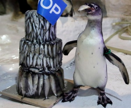 "The first Humboldt penguin born in the Philippines, named ""Kaya"", stands next to a three-tiered frozen ""fish cake"" placed in the penguin habitat at Manila Ocean Park to celebrate its first birthday Wednesday, July 29, 2015, in Manila, Philippines. Armi Cortes, the marine park's communications chief, said that Kaya was born last year. (AP Photo/Bullit Marquez)"